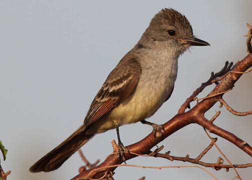 Ash-throated flycatcher 5