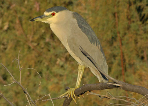 Nycticorax nycticorax - pedrete de corona negra - black-crowned night heron
