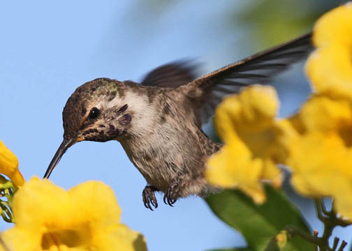 Costa's hummingbird 1