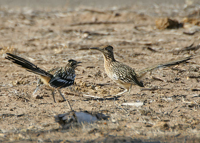 Geococcyx californianus - correcaminos norteño - greater roadrunner