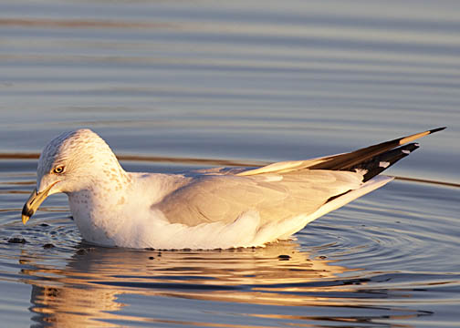 Ring-billed gull 2