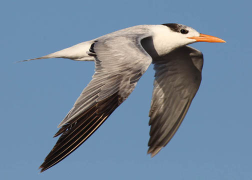 Royal tern 5
