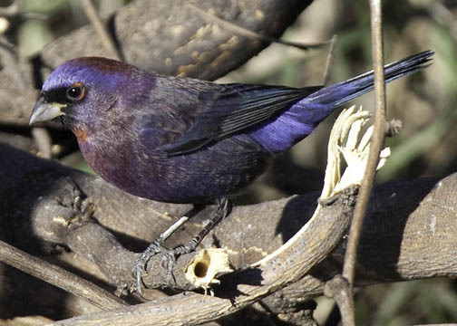 Passerina versicolor - colorín morado - varied bunting