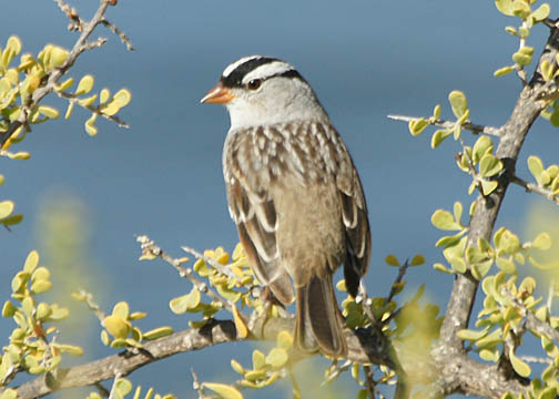 White-crowned sparrow  3