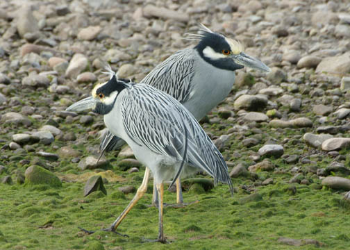 Nyctanassa violacea - pedrete de corona clara - yellow-crowned night heron