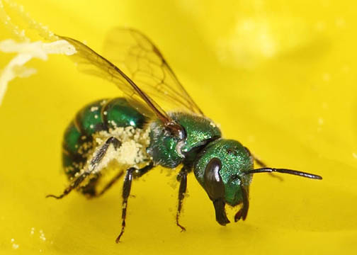 Green metalic bee