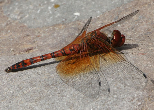 Red rock skimmer – Paltothemis lineatipes