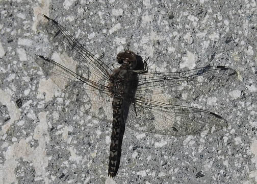 Red Rock Skimmer