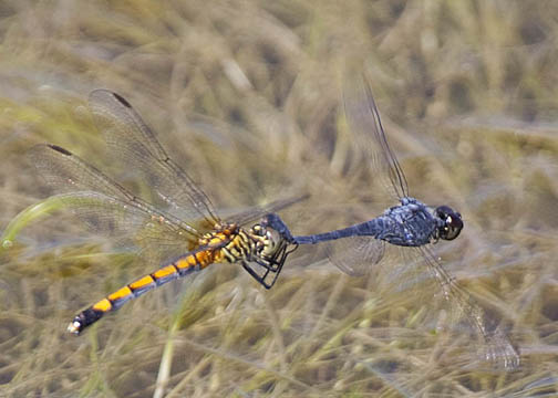 Seaside dragonlet