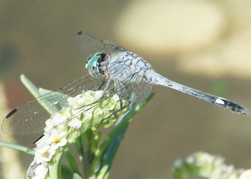 Spot-tailed dasher – Micrathyria aequalis