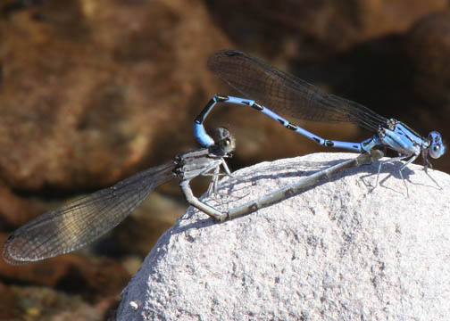 Vivid dancer – Argia vivida